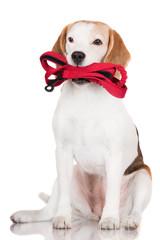 beagle dog holding a leash