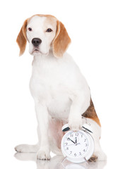 beagle dog with a clock