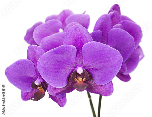 Dark purple orchid isolated on white background