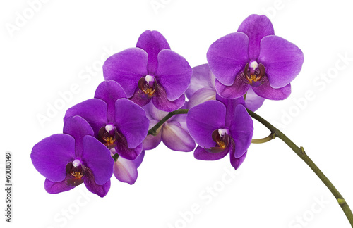 Fotobehang Orchidee Dark purple orchid isolated on white background