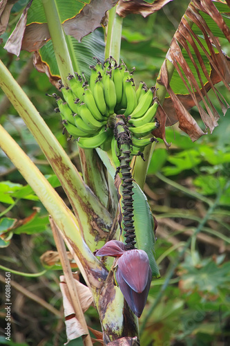 Bunch of bananas and its flower hanging on banana tree