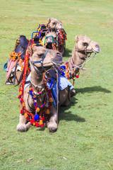 Resting Camels