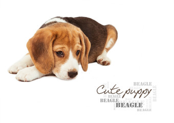 Sad beagle puppy on white