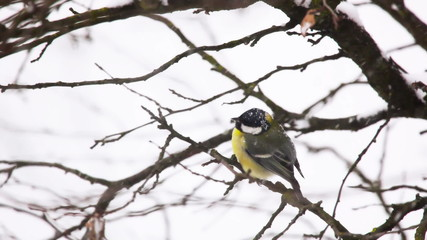 The Great Tit  - Small bird