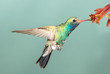Beautiful Male Broad-billed Hummingbird hoovering with flowers