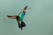 Beautiful Male Broad-billed Hummingbird in flight