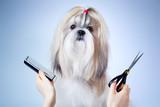 Shih tzu pies u fryzjera