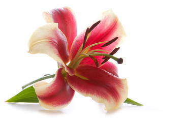 Pink lily isolated on white background.