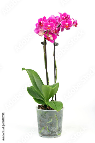 canvas print picture Phalenopsis Orchidee