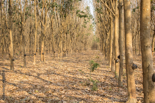 Latex rubber trees in the forest
