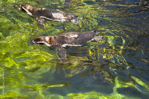 High angle view of Humboldt penguins (Spheniscus Humboldt) swimm