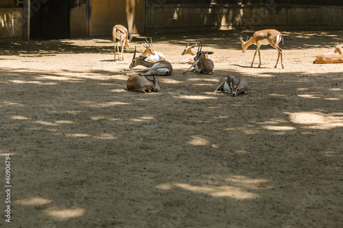 Gazelles in a zoo
