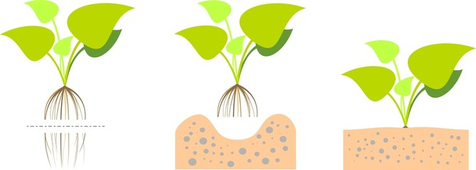 Illustration of  planting aquatic plants in the ground