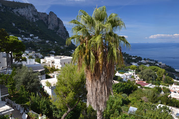 Huge palm tree on the island of Capri.