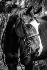 Black and White Horse Headshot