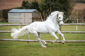 Greay Horse Galloping in Field