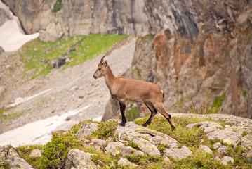 Alpen-Steinbock-Geiß in felsiger natürlicher Umgebung