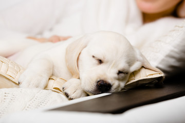 Close up of sleeping puppy of labrador on the hands