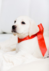 Small puppy with red ribbon on his neck