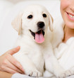 Close up of yawning labrador puppy on the hands of owner