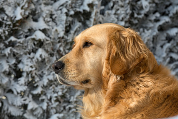 beautiful golden retriever