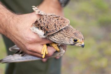 Cernícalo Común - Falco tinnunculus