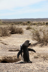 Lonely Magellanic penguin near a nest. Patagonia Wild nature.