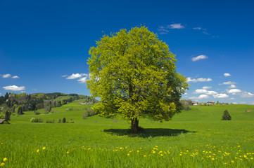 single big beech tree in meadow at summer