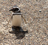 One curious and ridiculous penguin. Wild nature of Patagonia.