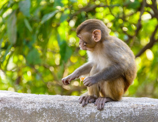 Baby macaque eating an orange