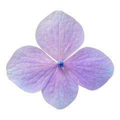 Single Purple Hydrangea Flower Isolated