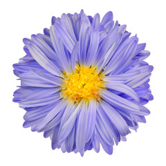 Purple Aster Flower with Yellow Center Isolate on White