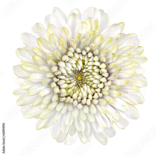 Blossoming White Strawflower Isolated on White Background