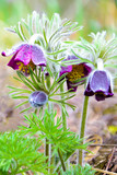Pasque flower (pulsatilla) after rain