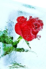 rote Rose - im Eis eingefroren