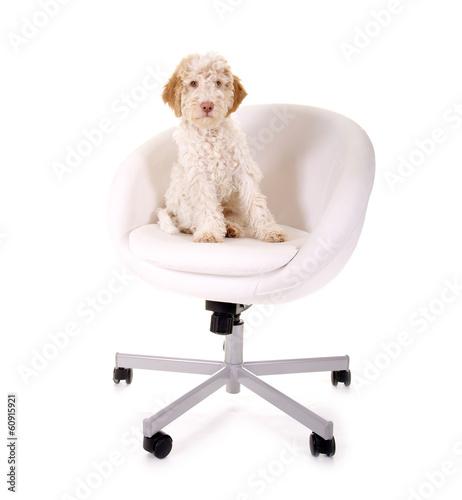 Chef-Hund