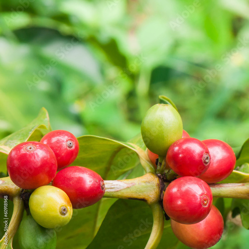 Ripe coffee on tree branch