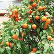Oranges on the trees in the streets of Athens
