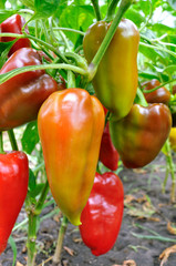 close-up of ripening peppers