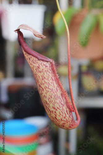 background of nepenthes or  pitcher plants
