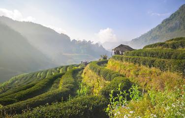 Tea plantation in Doi Ang Khang, Chiang Mai, Thailand