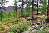 Larch taiga in the mountain region of Yakutia.