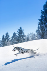 Dalmatian dog running and jumping in snow