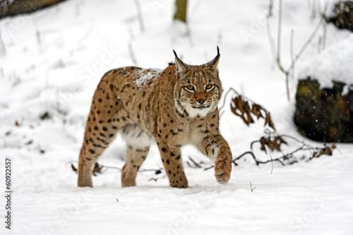 Foto op Plexiglas Lynx winter Lynx