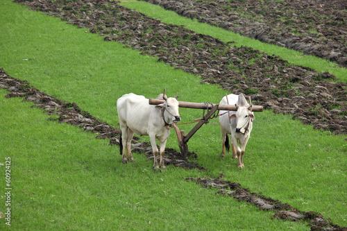 Fotobehang Buffel Plowing rice fields with an ox team in Myanmar