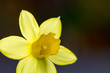 canvas print picture - yellow daffodil