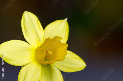 canvas print picture yellow daffodil