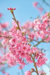 Thai Cherry Blossom (Sakura) at Doi Angkhang, Chiangmai, Thailan