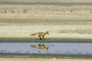 red fox running along the shore of a lake / Vulpes vulpes