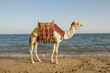 camel on the sunny seaside